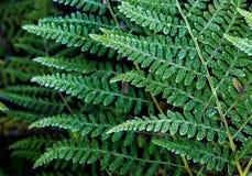 Felce della felce aquilina (pteridium aquilinum) Fotografie Stock