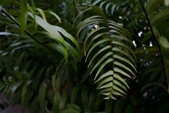 Felce della giungla Fotografia Stock
