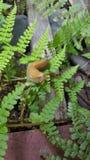 Felce della lumaca della banana Fotografia Stock