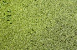 Felce di acqua (Azolla) Fotografia Stock