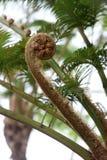 Felce di albero del germoglio Fotografia Stock Libera da Diritti