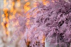 Felce di asparago asciutta di colore rosa Utilizzato nella progettazione floreale per la decorazione delle disposizioni e dei maz fotografie stock