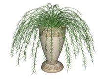 Felce di asparago, pianta d'attaccatura Fotografia Stock