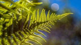 Felce di Eagle (pteridium aquilinum) Immagine Stock
