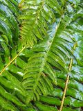 Felce di spada, munitum del Polystichum, fogliame bagnato da pioggia, Columbia Britannica fotografie stock