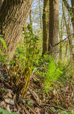 Felce di spiegamento nella foresta di primavera immagini stock