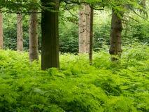 Felce e vari alberi nella foresta Fotografia Stock Libera da Diritti