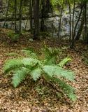 Felce (filix-mas del Dryopteris) nella foresta Fotografia Stock Libera da Diritti