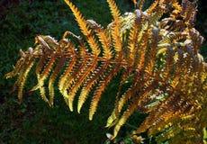 Felce-foglia dorata alla luce solare Fotografia Stock