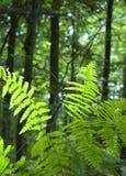 Felce in foresta verde fertile Fotografia Stock Libera da Diritti
