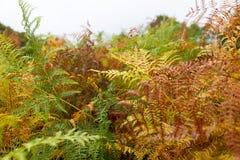 Felce multicolore di autunno Fotografie Stock