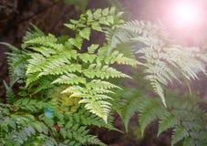 Felce nella foresta Fotografia Stock