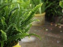 Felce in pioggia Fotografia Stock