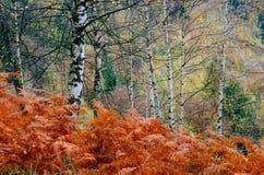 Felce rossa nella foresta di autunno Fotografia Stock Libera da Diritti