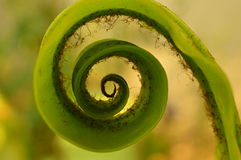Felce a spirale della foglia Fotografia Stock Libera da Diritti