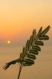 Felce tropicale della foglia sul sole arancio di tramonto sopra il mare Immagini Stock Libere da Diritti