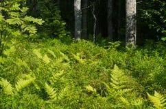 Felce in una foresta scura Immagine Stock Libera da Diritti