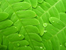 Felce verde Immagini Stock Libere da Diritti
