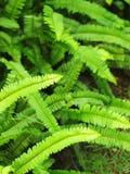 Felce verde Immagini Stock