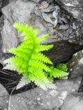 Felce verde in ardesia Fotografie Stock Libere da Diritti