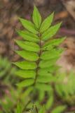 Felce verde della foglia Immagine Stock