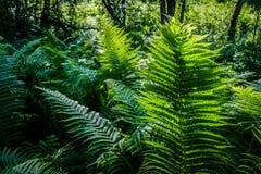 Felce verde intenso ad una luce del sole come fondo, primo piano Immagini Stock