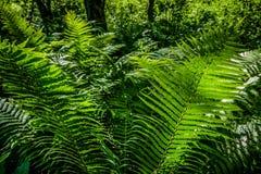 Felce verde intenso ad una luce del sole come fondo, primo piano Fotografie Stock