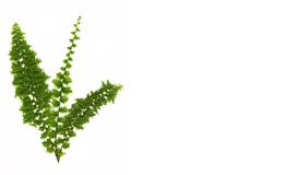 Felce verde isolata su bianco Fotografia Stock Libera da Diritti