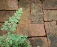 Felce verde sul blocchetto del mattone Fotografie Stock