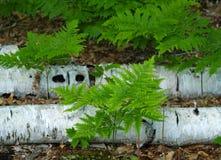 Felci dagli alberi di betulla Immagini Stock Libere da Diritti