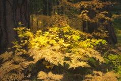 Felci di Autumn Colored in una foresta Immagine Stock