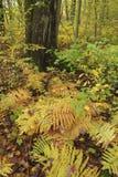 Felci in legno di autunno Fotografia Stock Libera da Diritti