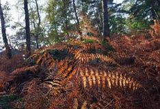 Felci nel sottobosco della foresta di Fontainebleau Immagini Stock