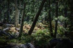 Felci soleggiate nel Coconino Forest Along nazionale il Kachina T Immagini Stock Libere da Diritti