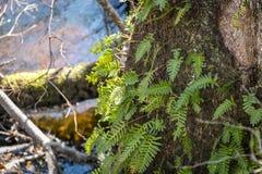 Felci su un albero Immagini Stock Libere da Diritti