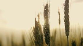 Feldährchen des Weizens bei Sonnenuntergang stock footage