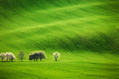 Feld bewegt mit blühenden Bäumen im Frühjahr wellenartig Stockbilder