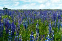 Feld, Blumen, Rapssamen, Kornblumen, Sommer, Himmel, Landschaft, Landschaft Stockfotografie