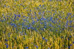 Feld of cornflowers. Field of cornflowers. Blue flowers background Royalty Free Stock Photography