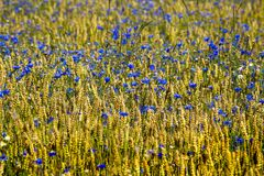 Feld of cornflowers. Field of cornflowers. Blue flowers background Royalty Free Stock Photos