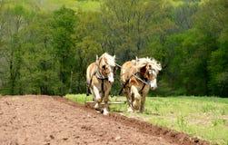 Feld, das mit Pferden pflügt Stockfoto