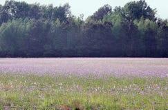 Feld Deptford der rosafarbenen Blumen Stockfotos