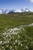 Feld der Blumen in den Schweizer Alpen Stockfotos