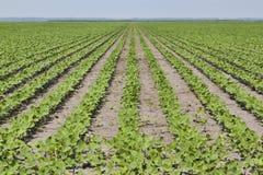 Feld der Bohnen Stockfotos