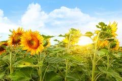 Feld der bunten Sonnenblumen und des blauen Himmels Lizenzfreie Stockbilder