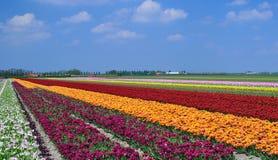 Feld der bunten Tulpen Stockbild
