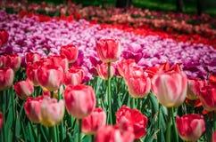 Feld der bunten Tulpen Stockbilder