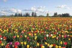 Feld der bunten Tulpen-Landschaft Stockbilder