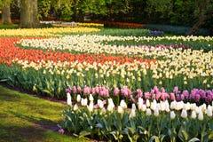 Feld der bunten Tulpen und der Hyazinthen lizenzfreie stockfotografie