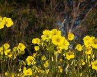 Feld der Butterblumeblumen lizenzfreie stockfotos